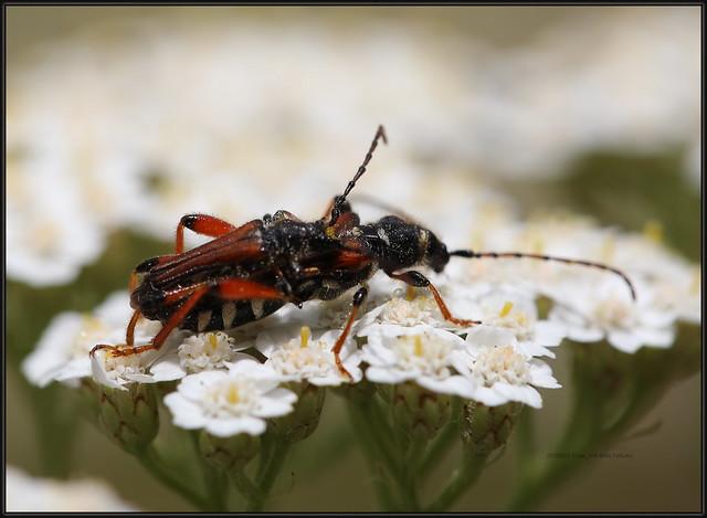 Stenopterus rufus, 8540 FaKukci, Stenopterus rufus, a member of Typical Longhorn Beetles Subfamily Cerambycinae, 23.VI.2019. Rijeka. 20190623 Pulac_032 , BL99729.