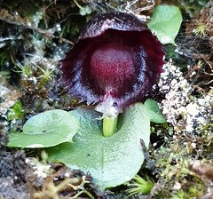 Stately helmet orchid spotted in the foothills of Mount Wellington