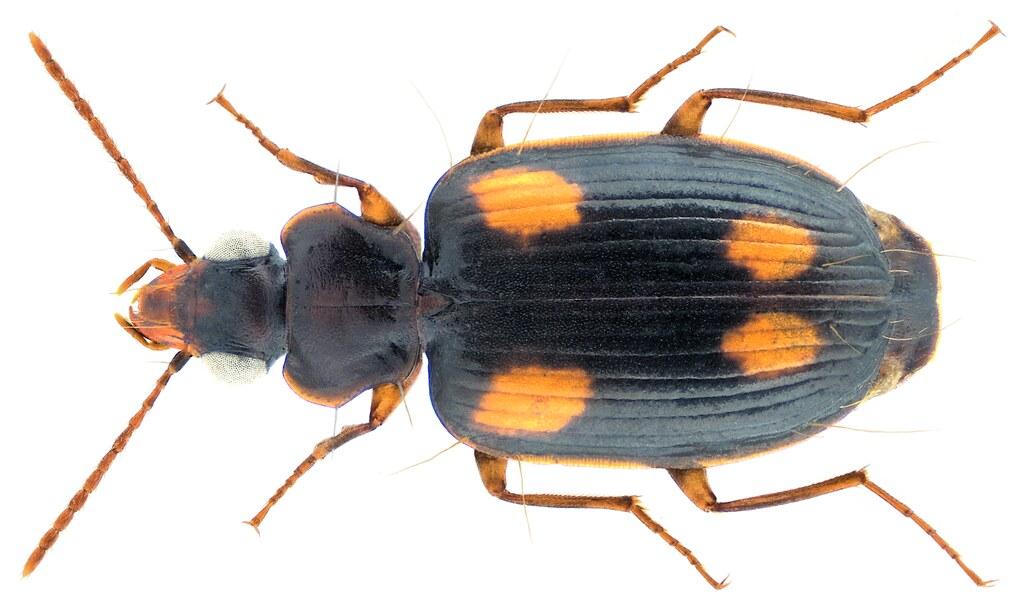 Mochtherus tetraspilotus (Macleay, 1825)
