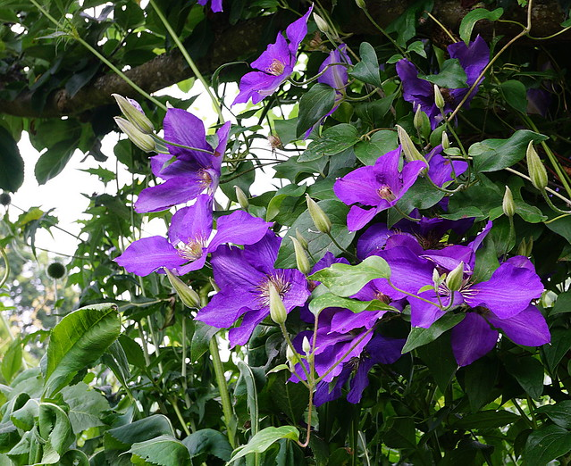 clematis growing on a tree