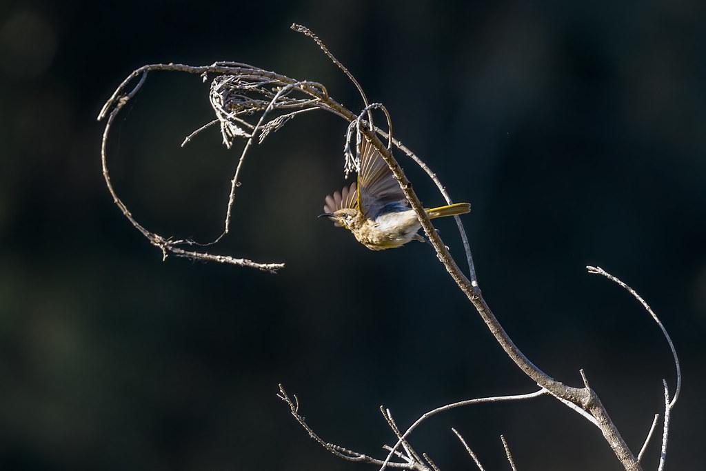 Brown Honeyeater in flight