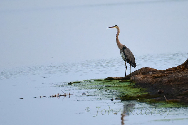 Heron on the Point