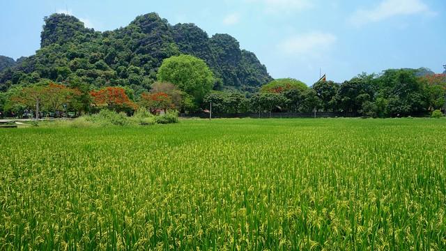 Rice plants field. Hoa Lu. Ninh Binh. Vietnam