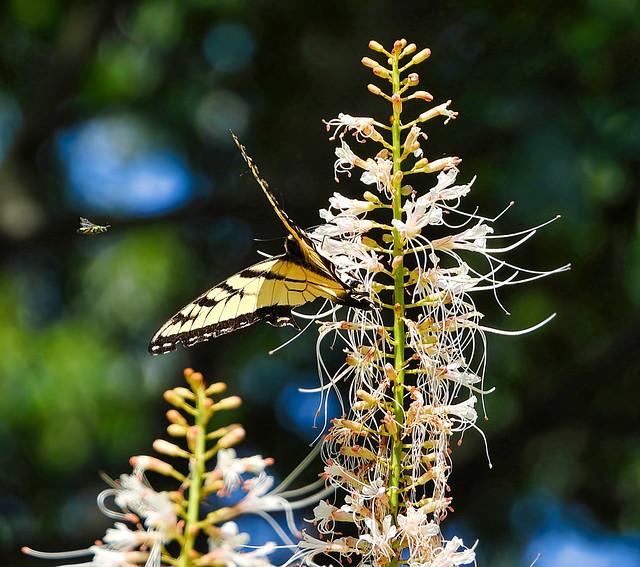 Butterfly & Bottlebrush Buckeye Bush In The Bokeh