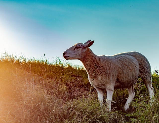 Proud little sheep