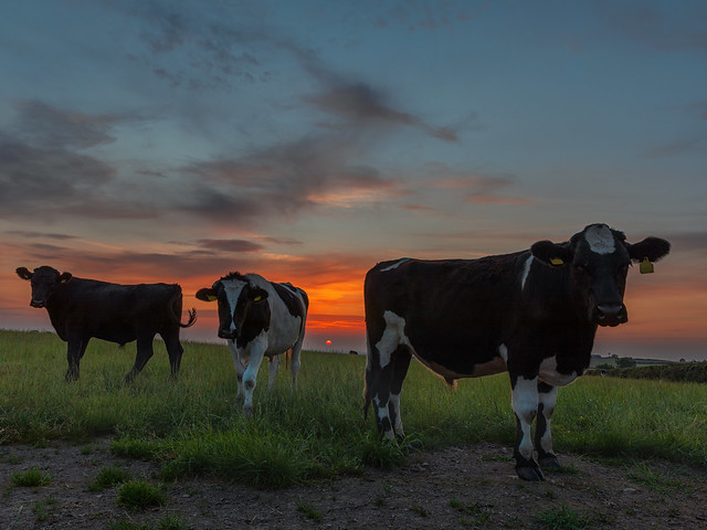 Steers at Sunset
