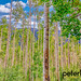 Peter Ciro Photography posted a photo:Field of Aspen Trees along Roaring Fork River in Aspen, Colorado