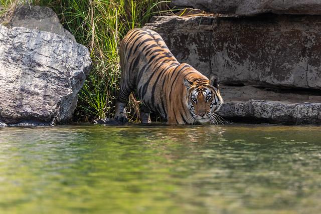 International Tiger Day 2021 ( 2 )