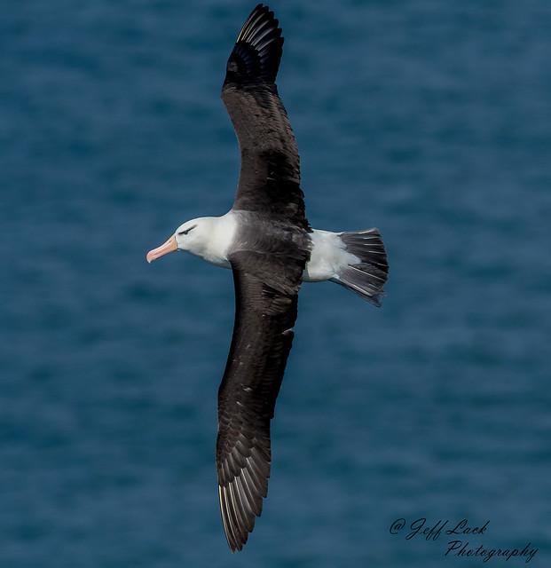 DSC4048  Black Browed Albatross..