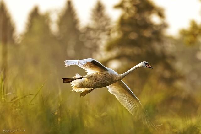 Höckerschwan  / mute swan  (Cygnus_olor)