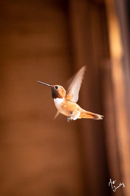 Rufous Hummingbird-1-4