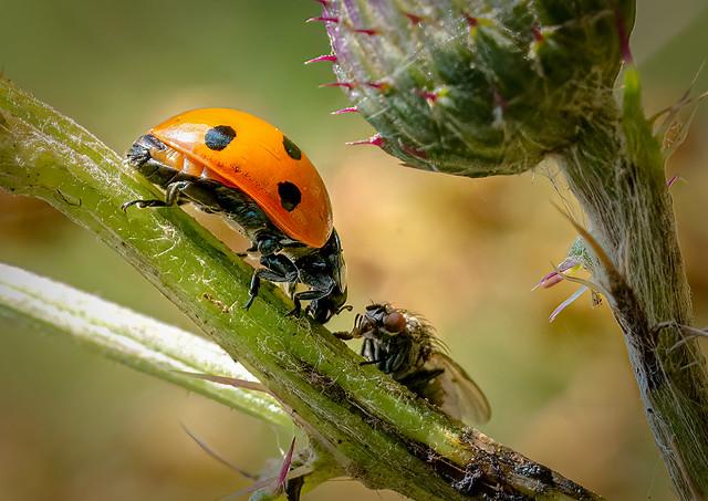 7 Spot Ladybird - Coccinella septempunctata