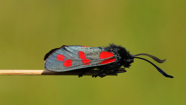 Six-Spot Burnet - Zygaena filipendulae  220721 (7)