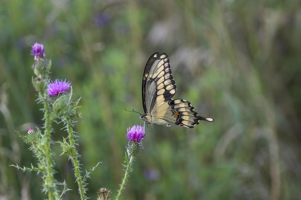 Giant Swallowtail   In Explore #79 7/29/2021