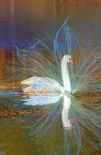 Regal swan