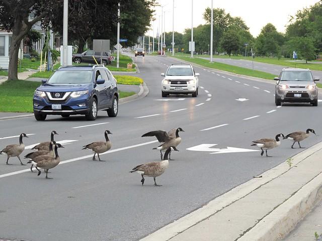 Geese crossing Water Street, Cornwall, Ontario.
