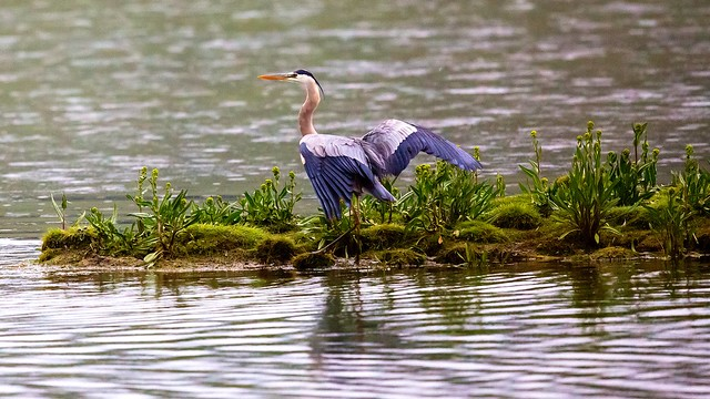 Great Blue Heron... Yellowstone River, Hayden Valley, Yellowstone National Park