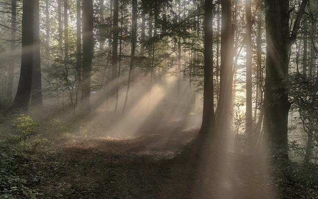 *Buchenwald im Morgenlicht*