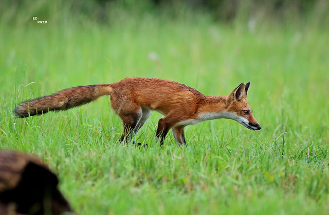 RED FOX - The Beauty Of God's Creation on private property in central Florida USA 7/29/21