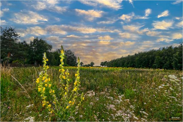 Summer meadow  < >  Sommerwiese