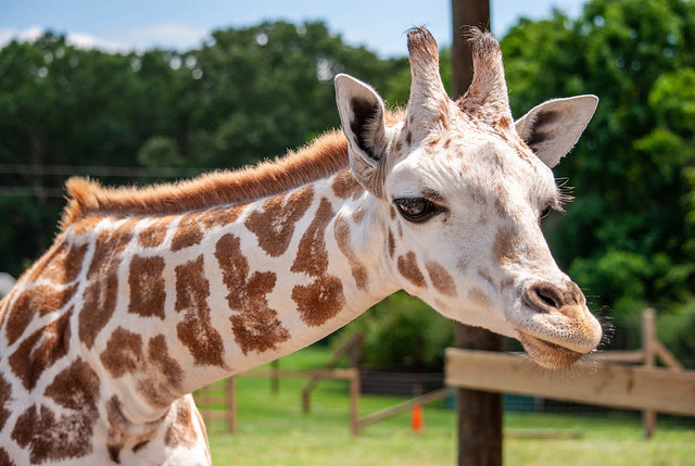 Visiting the Young Giraffe