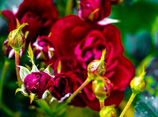 21-07-26 nah rose blüt rot knospe grün generation strukt bok text ds_051526
