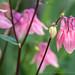 Pink Aquilegia, 4.18.18