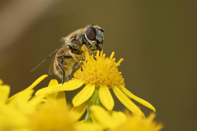 Blinde bij-Drone fly (Eristalis tenax)