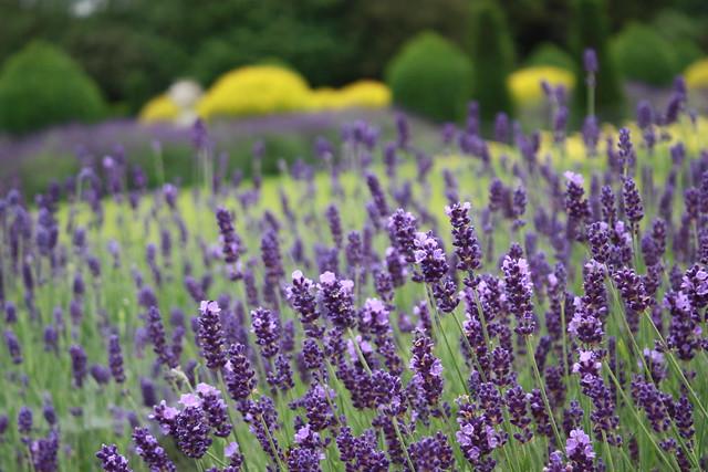 Lavender +