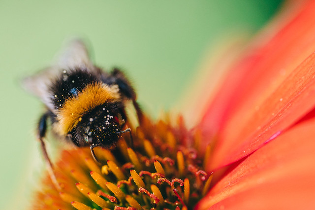 More Bumblebees