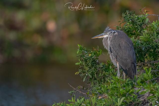 Great Blue Heron   Ardea herodias   2021 - 7