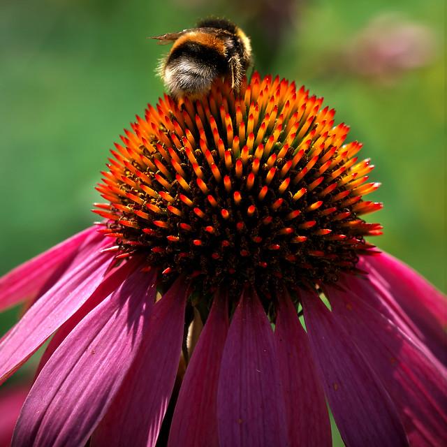 Spikey bumblebee