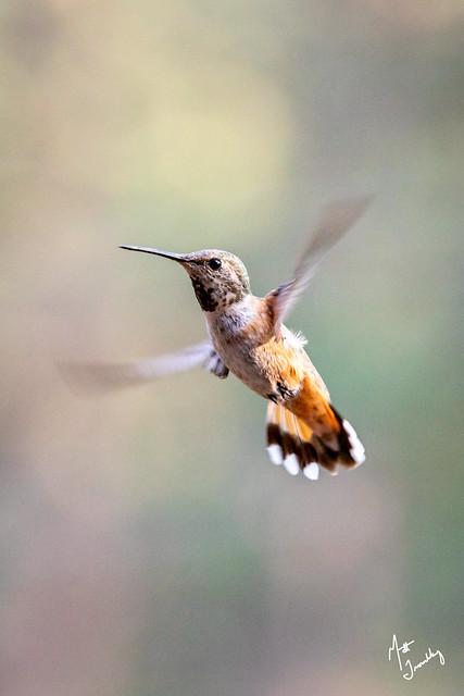 Rufous Hummingbird-1-7