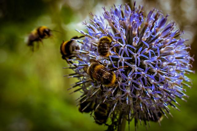 busy bumblebees - fleißige Hummeln