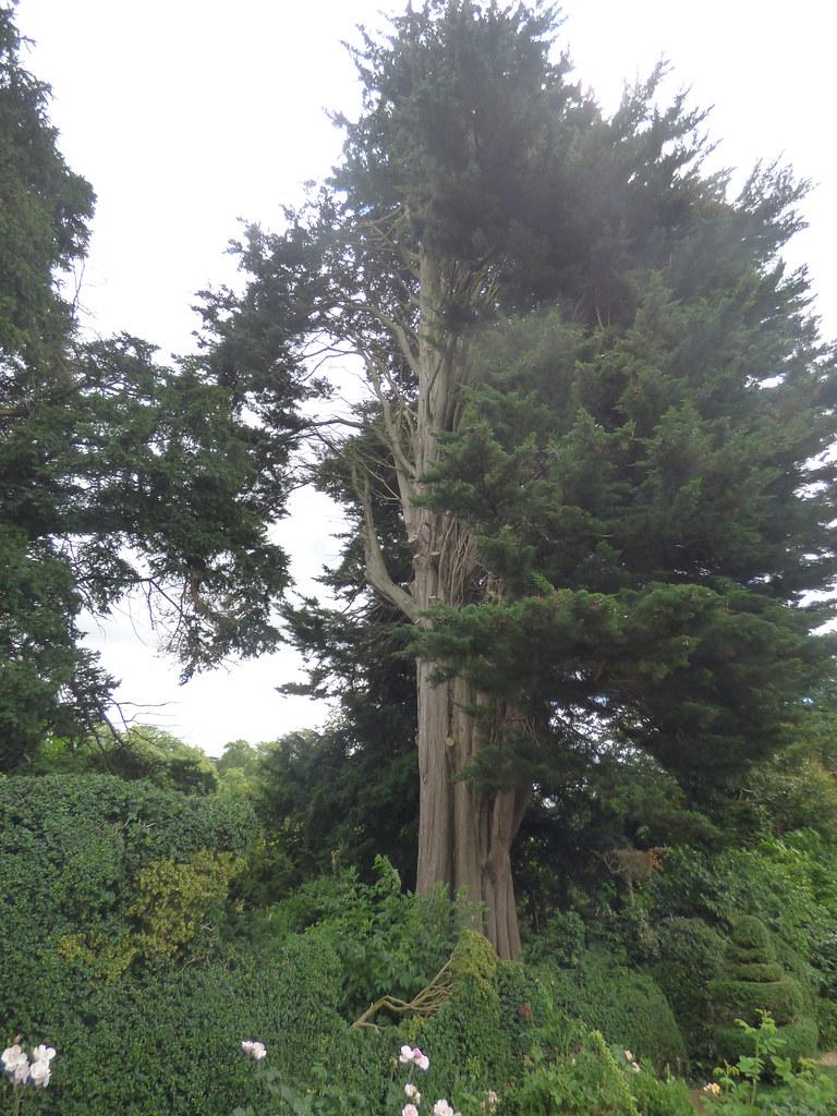 Top Rose Garden / Botticelli Garden at Kelmarsh Hall & Gardens - very old tree