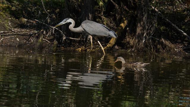 Grand Héron et canard, Great Blue Heron - Base de Plein-Air-de-Ste-Foy, PQ, Canada - 06218