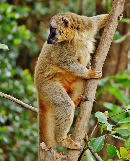 Red-fronted Lemur (M) (Eulemur rufifrons)