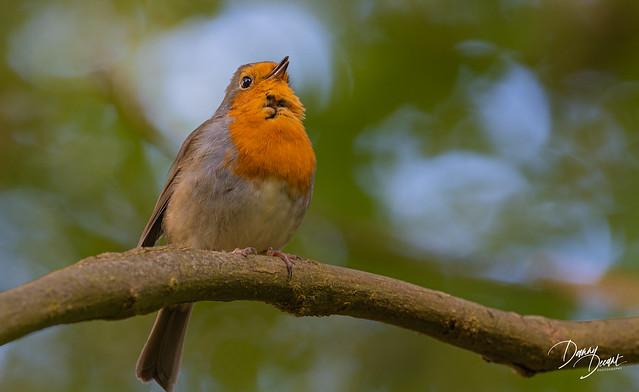 Roodborst  European Robin, Erithacus rubecula - Vliegenvangers (Muscicapidae)