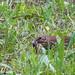 Singdrossel sucht Würmer für die Jungen