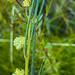 Swamp Wattle (Acacia ptychoclada)