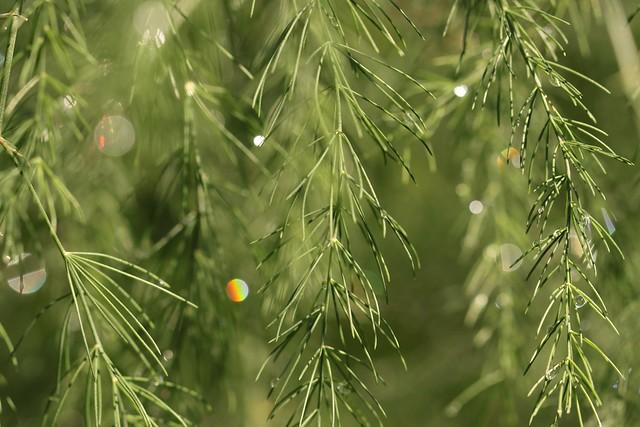 Asparagus Fern after the rain