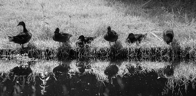 DSC_6821_Ducks_9.jpg