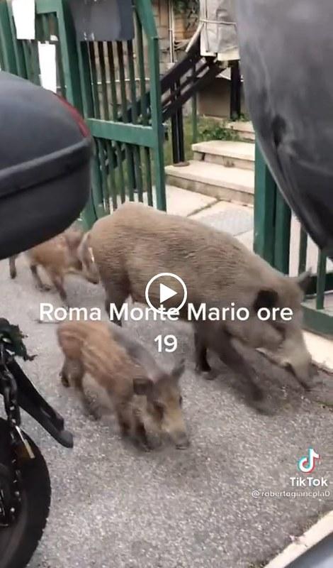"""RARA 2021. Roma invasa dai cinghiali. le passeggiate nei quartieri """"in"""" Roma Monte Mario. Proprio oggi c'è stato un dibattito dei quattro candidati sindaci della città. Video / ErFaina.it - Il sito di Damiano Er Faina (29/07/2021)."""