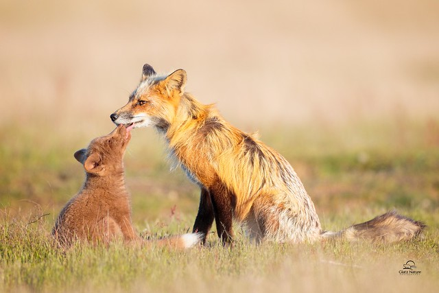 Father Fox and His Adoring Kit