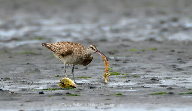 Whimbrel with Fat Ghost Shrimp