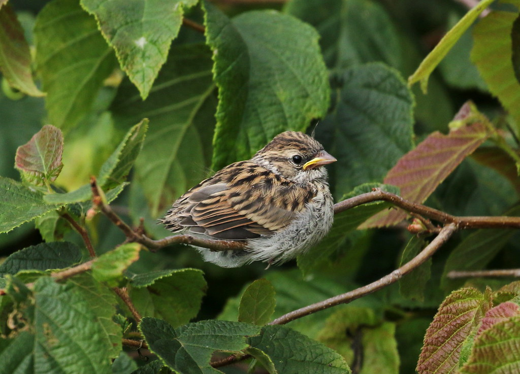 Juvenile Chipping Sparrow - 7/30/21