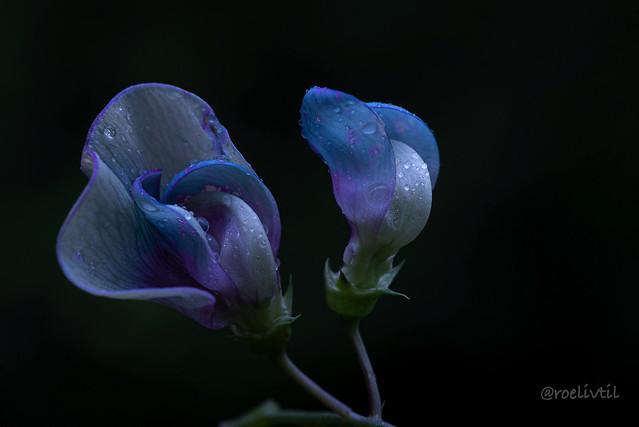 Blauw / Blue