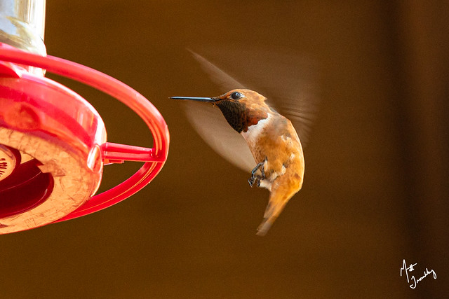 Rufous Hummingbird-1-6
