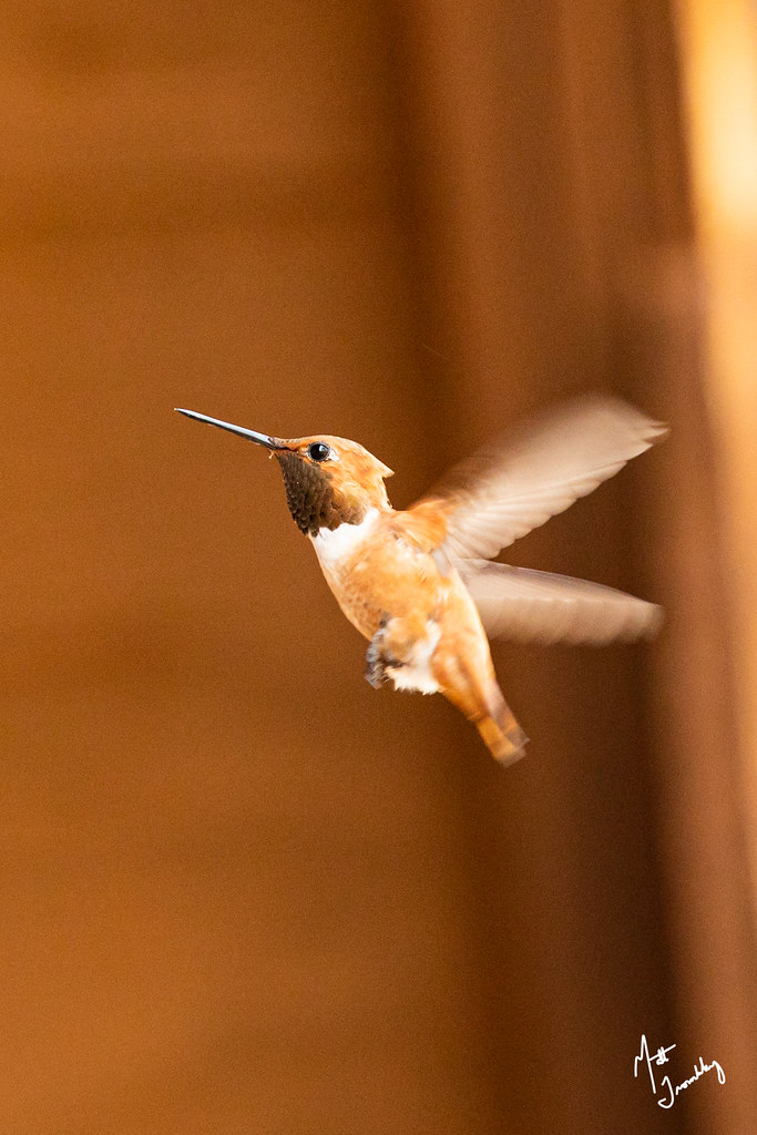 Rufous Hummingbird-1-5