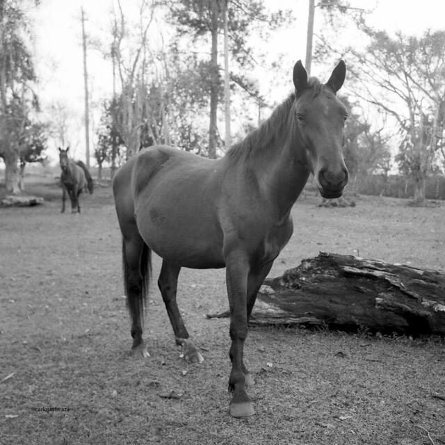 The pregnant mare